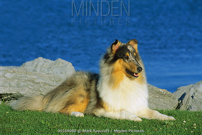 Blue Merle Collie (Canis familiaris) portrait at waterfront  -  Mark Raycroft