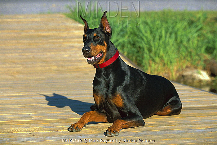Doberman Pinscher (Canis familiaris) adult with clipped ears laying on boardwalk  -  Mark Raycroft