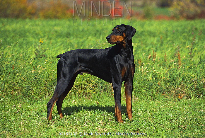 Minden Pictures Stock Photos Doberman Pinscher Canis Familiaris