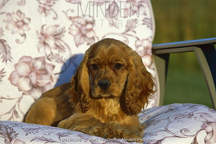 Cocker Spaniel (Canis familiaris) puppy sitting in chair  -  Mark Raycroft