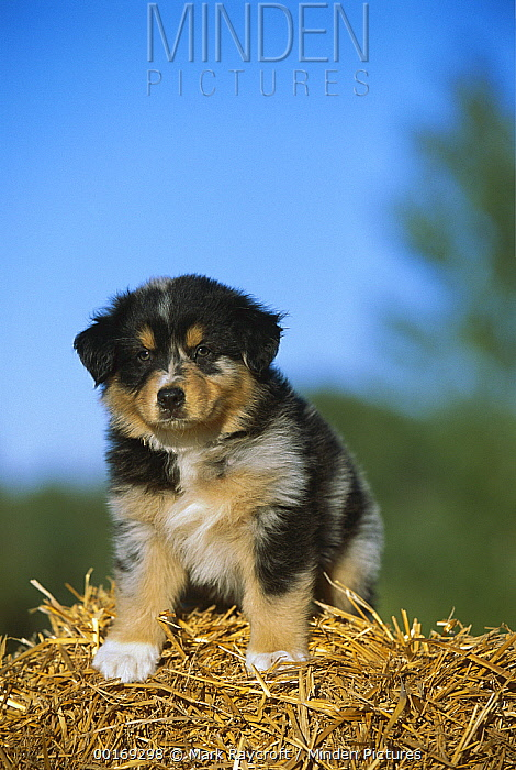 Australian Shepherd (Canis familiaris) portrait of puppy on hay bale  -  Mark Raycroft