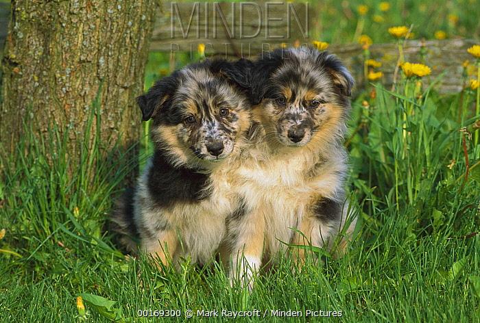 Australian Shepherd (Canis familiaris) two puppies sitting in grass  -  Mark Raycroft