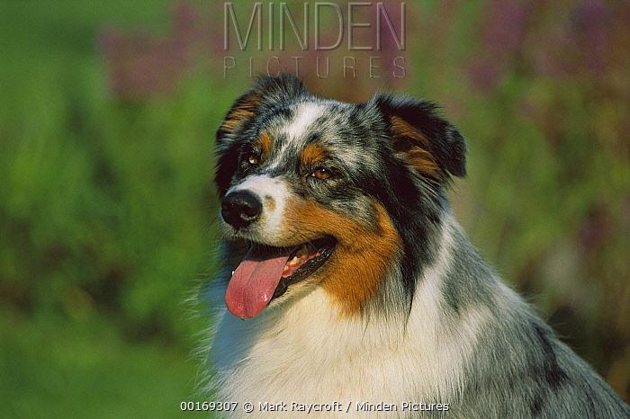 Australian Shepherd (Canis familiaris) portrait of panting adult  -  Mark Raycroft