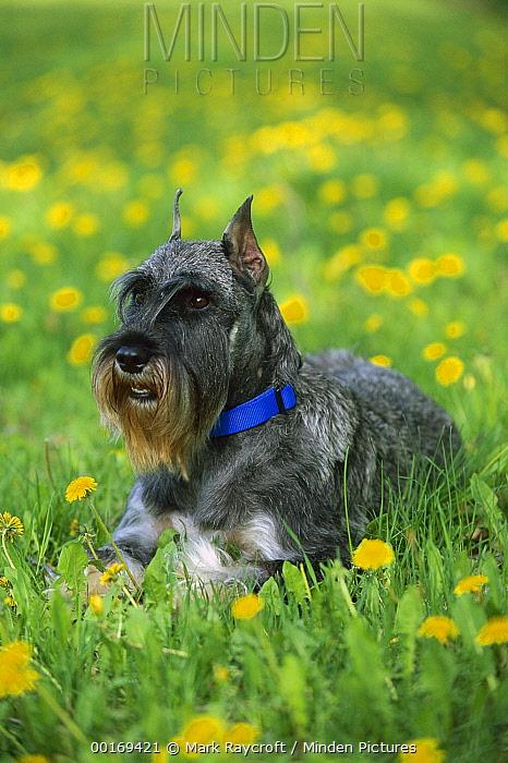 Standard Schnauzer (Canis familiaris) laying in field of Dandelion  -  Mark Raycroft