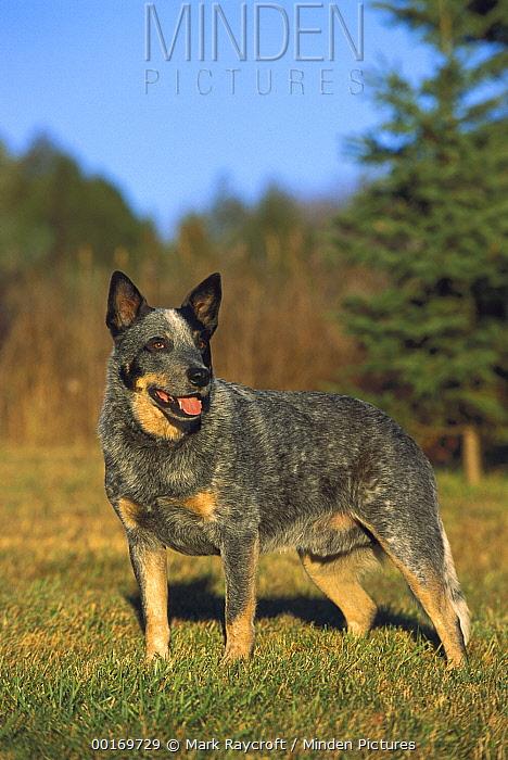 Australian Cattle Dog (Canis familiaris) portrait  -  Mark Raycroft