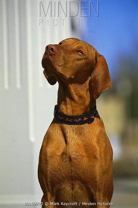 Vizsla (Canis familiaris) portrait  -  Mark Raycroft