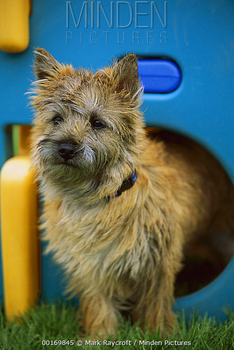 Cairn Terrier (Canis familiaris) puppy in play structure  -  Mark Raycroft