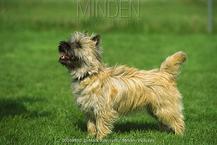 Cairn Terrier (Canis familiaris) profile on lawn  -  Mark Raycroft