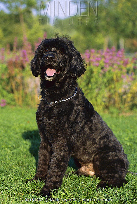 Portuguese Water Dog (Canis familiaris) side view portrait  -  Mark Raycroft