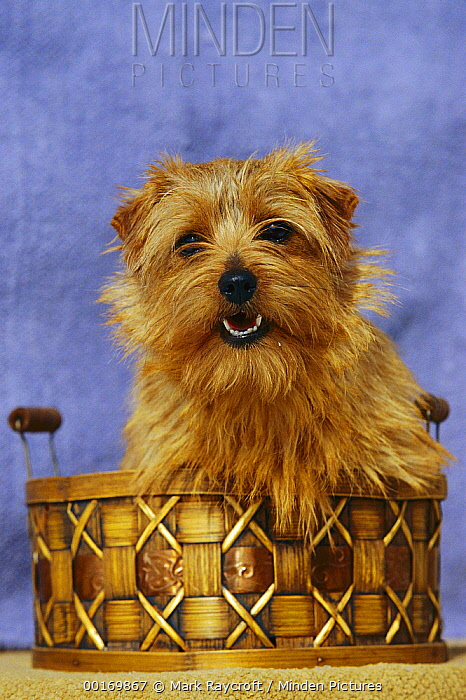 Norfolk Terrier (Canis familiaris) portrait in basket  -  Mark Raycroft