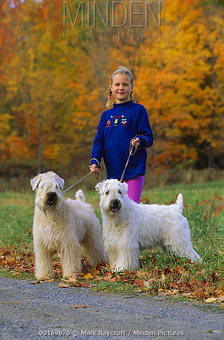 Soft Coated Wheaten Terrier (Canis familiaris) girl taking pair for a walk  -  Mark Raycroft