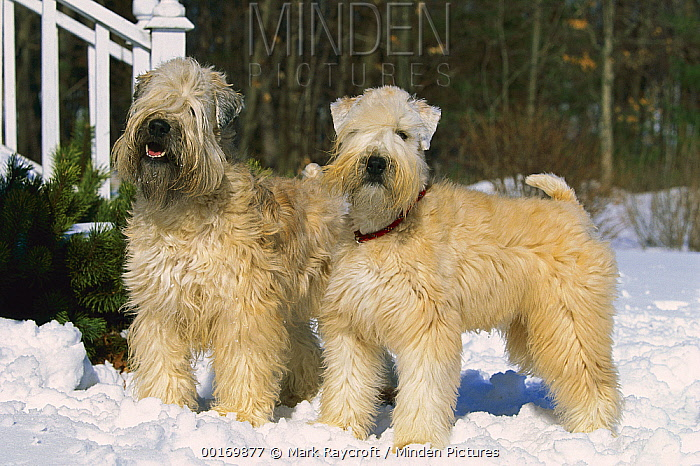 Soft Coated Wheaten Terrier (Canis familiaris) pair in the snow  -  Mark Raycroft