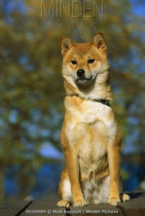 Shiba Inu (Canis familiaris) adult portrait  -  Mark Raycroft