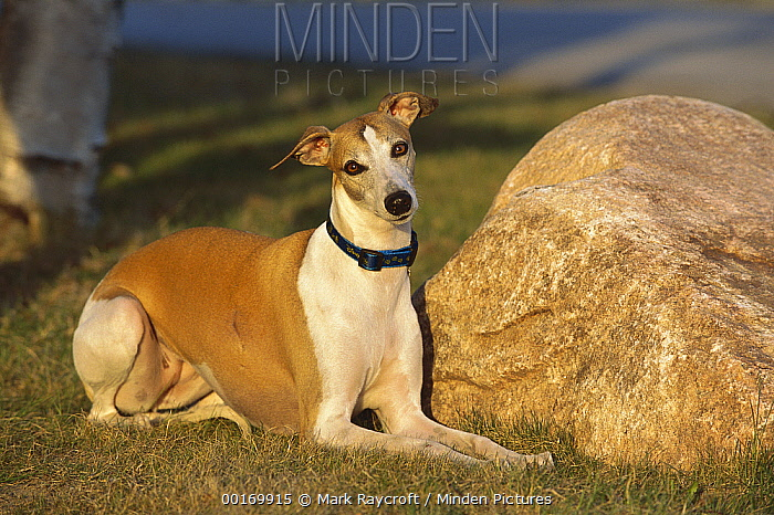 Whippet (Canis familiaris) adult laying in grass  -  Mark Raycroft