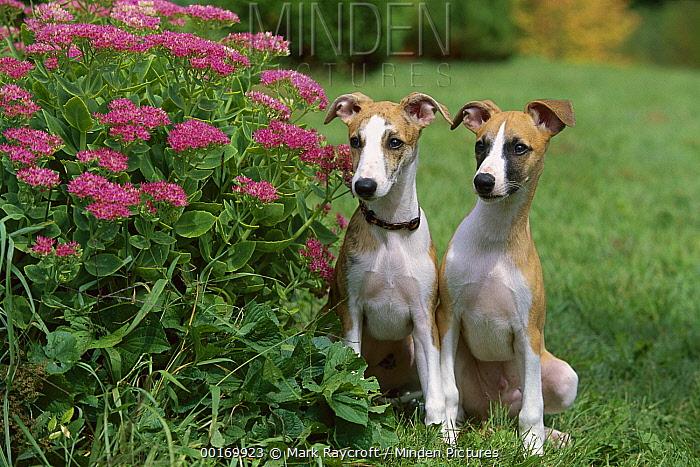 Whippet (Canis familiaris) puppy pair sitting beside garden flowers  -  Mark Raycroft