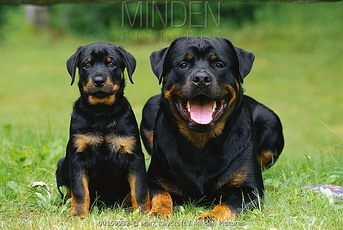 Rottweiler (Canis familiaris) male and puppy  -  Mark Raycroft