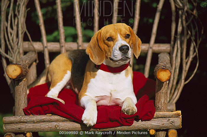 Beagle (Canis familiaris) adult sitting on willow chair  -  Mark Raycroft