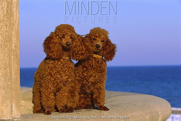 Miniature Poodle (Canis familiaris) portrait of pair sitting  -  Mark Raycroft