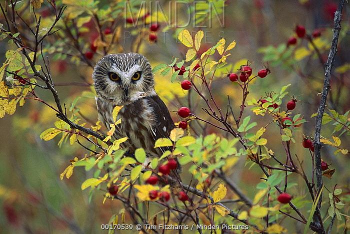 Northern Saw-whet Owl (Aegolius acadicus) perching in a wild rose bush, British Columbia, Canada
