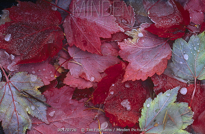 Japanese Maple (Acer palmatum) leaves covered with frost and frozen dew drops, Ontario, Canada  -  Tim Fitzharris
