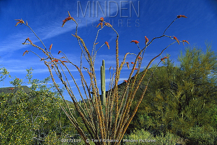 Ocotillo (Fouquieria splendens) Saguaro (Carnegiea gigantea) Greasewood (Sarcobatus sp) and Palo Verde (Parkinsonia sp), Arizona  -  Tim Fitzharris