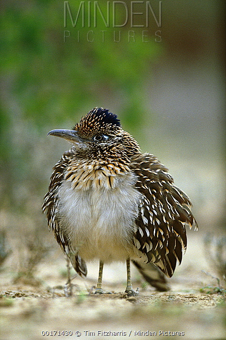 Greater Roadrunner (Geococcyx californianus) puffing out feathers to thermoregulate, Big Bend National Park, Texas  -  Tim Fitzharris