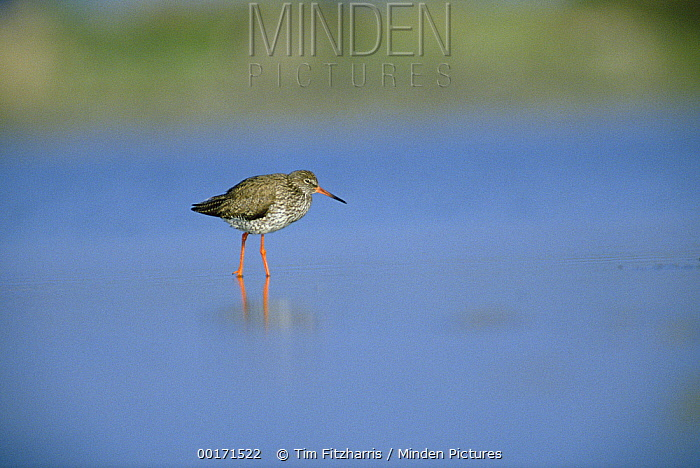 Common Redshank (Tringa totanus) wading through water, Camargue, France  -  Tim Fitzharris