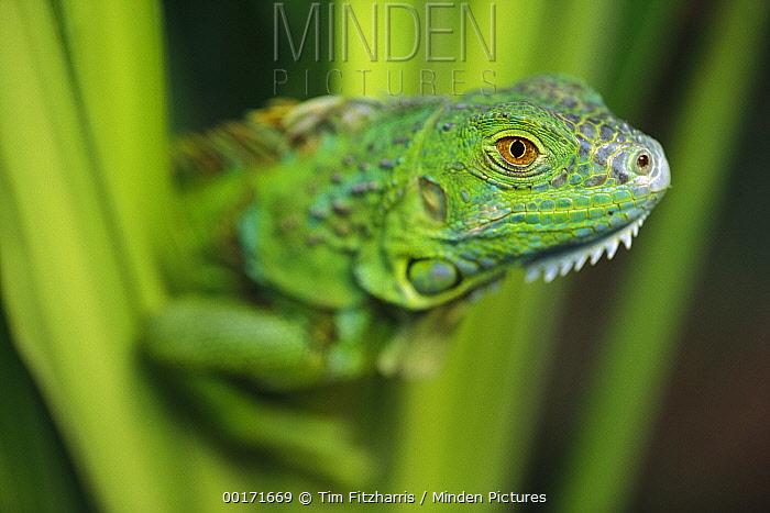 Green Iguana (Iguana iguana) amid green leaves, Roatan Island, Honduras