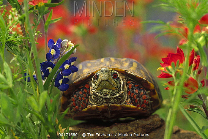 Western Box Turtle (Terrapene ornata) among Lupine (Lupinus sp) and Paintbrush (Castilleja sp), North America