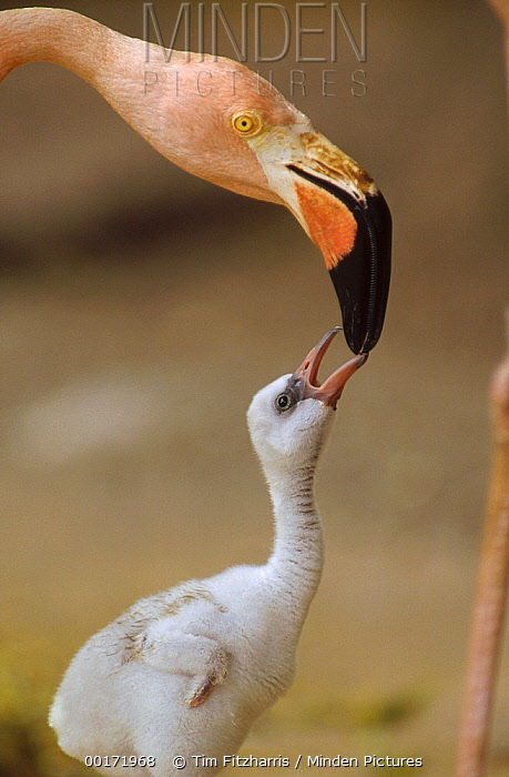 Greater Flamingo (Phoenicopterus ruber) mother and begging chick, Caribbean