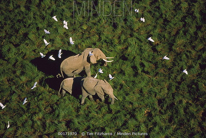 African Elephant (Loxodonta africana) parents and two calves with Cattle Egret (Bubulcus ibis) flock, Kenya  -  Tim Fitzharris