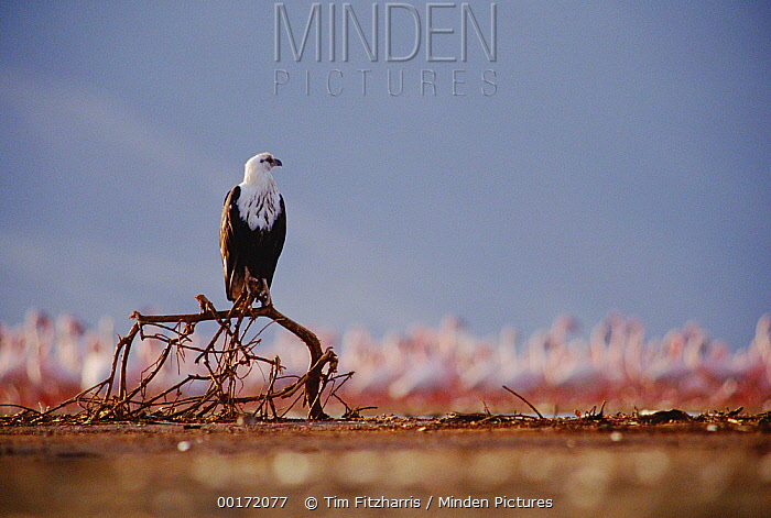 African Fish Eagle (Haliaeetus vocifer) juvenile perching on an old tree branch, Kenya  -  Tim Fitzharris