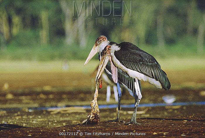 Marabou Stork (Leptoptilos crumeniferus) pair scavenging on Lesser Flamingo (Phoenicopterus minor) remains, Kenya  -  Tim Fitzharris