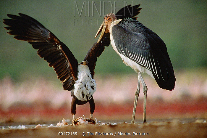 African Fish Eagle (Haliaeetus vocifer), Kenya  -  Tim Fitzharris