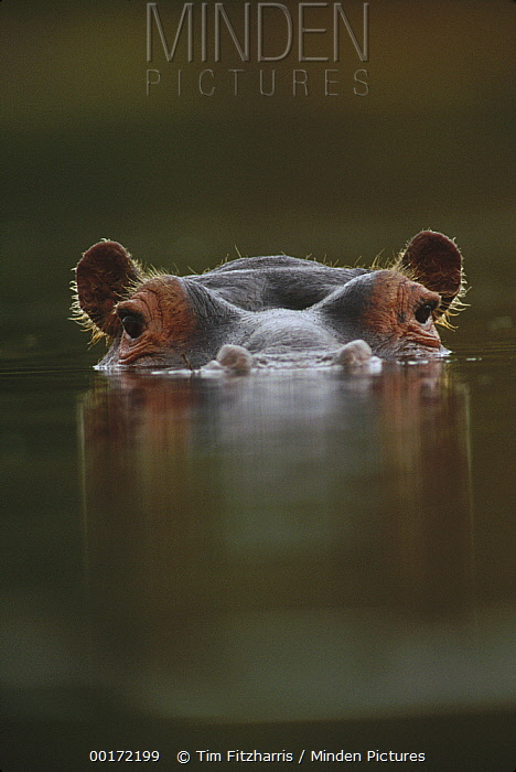 Hippopotamus (Hippopotamus amphibius) at water surface, Tanzania