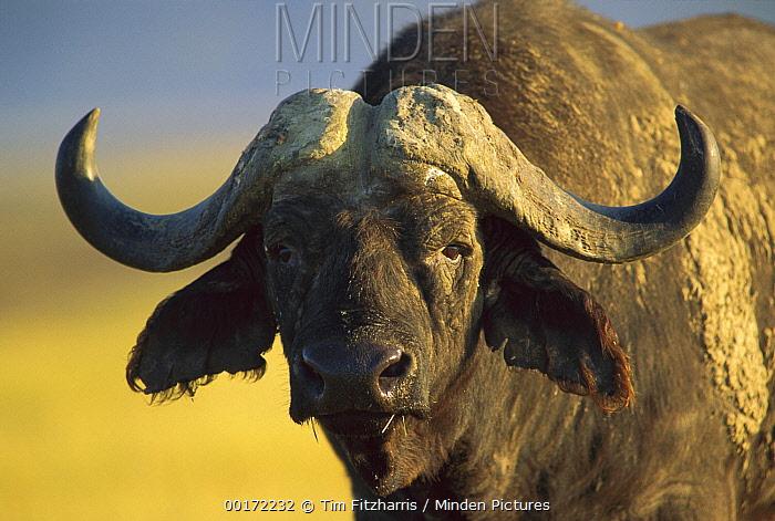 Cape Buffalo (Syncerus caffer) portrait, Kenya  -  Tim Fitzharris