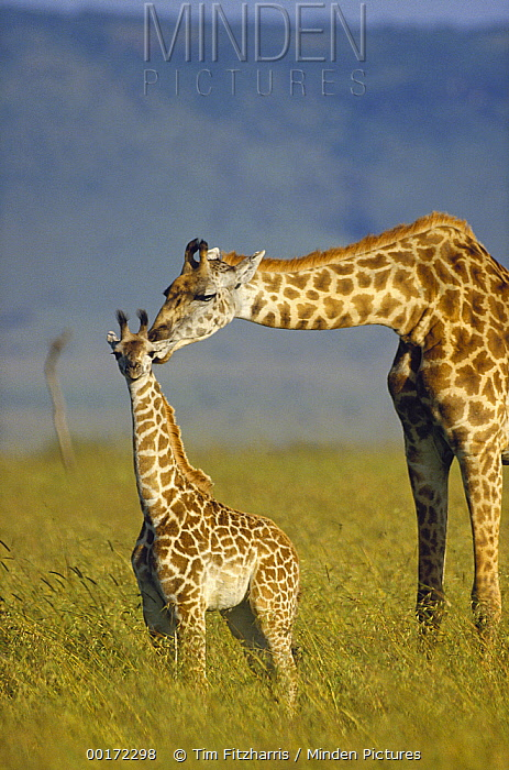 Masai Giraffe (Giraffa tippelskirchi) mother and young, Kenya  -  Tim Fitzharris