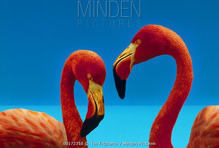 Greater Flamingo (Phoenicopterus ruber) courting pair, Caribbean species  -  Tim Fitzharris