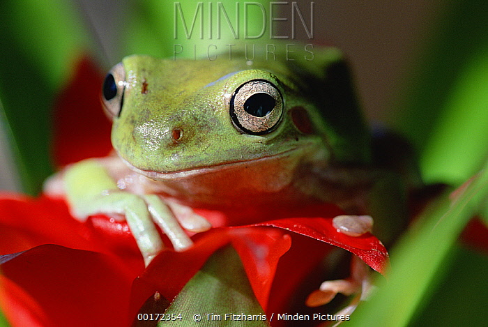 White's Tree Frog (Litoria caerulea) portrait, North America  -  Tim Fitzharris