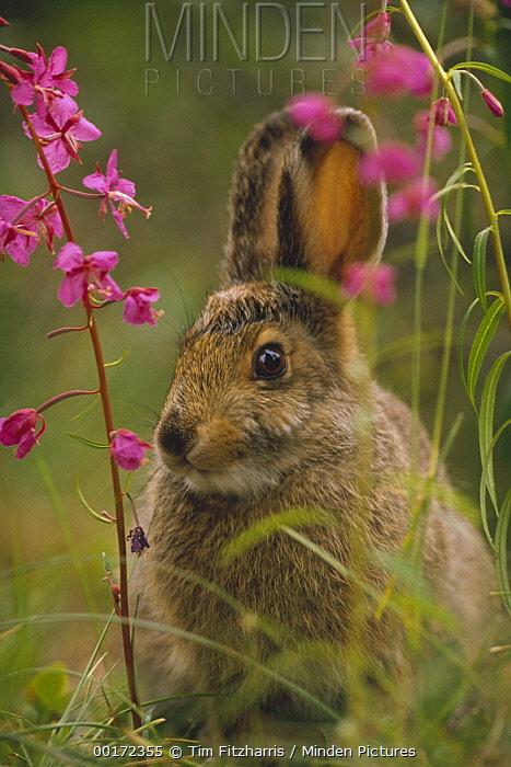 Snowshoe Hare (Lepus americanus) in its summer coat amid Fireweed (Chamerion angustifolium) flowers, Alaska  -  Tim Fitzharris