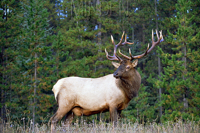 Elk (Cervus elaphus) male portrait, North America  -  Tim Fitzharris