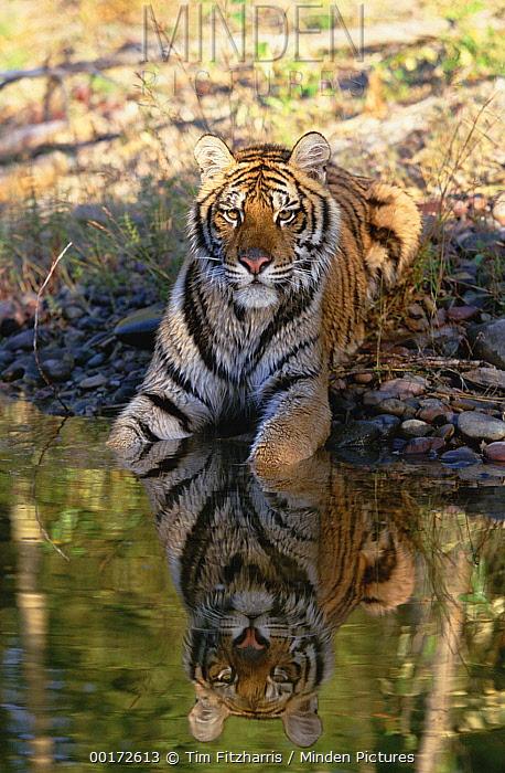 Siberian Tiger (Panthera tigris altaica) resting along water's edge  -  Tim Fitzharris