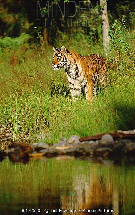 Siberian Tiger (Panthera tigris altaica) standing in green grass along water's edge  -  Tim Fitzharris