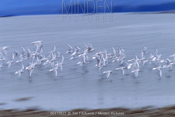 Herring Gull (Larus argentatus) flock flying, North America  -  Tim Fitzharris