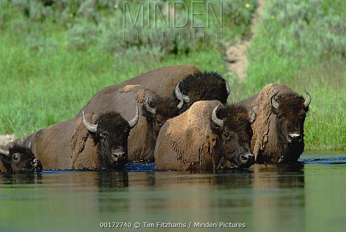 American Bison (Bison bison) herd crossing river, North America  -  Tim Fitzharris