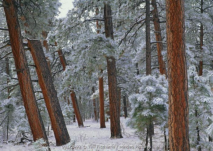Ponderosa Pine (Pinus ponderosa) trees with snow, Grand Canyon National Park, Arizona