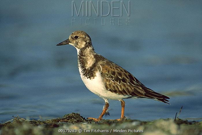 Ruddy Turnstone (Arenaria interpres) standing on shore, North America  -  Tim Fitzharris