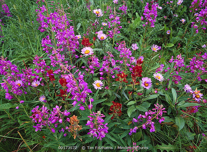 Fireweed (Chamerion angustifolium) Asters and Paintbrush (Castilleja sp), North America  -  Tim Fitzharris