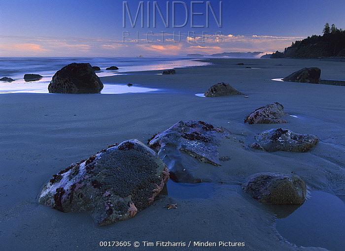 Ochre Sea Star (Pisaster ochraceus) group on boulders at dusk, Beach Six, Olympic National Park, Washington  -  Tim Fitzharris