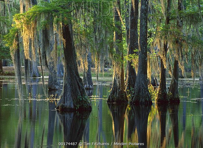 Bald Cypress (Taxodium distichum) swamp, Sam Houston Jones State Park, Louisiana  -  Tim Fitzharris